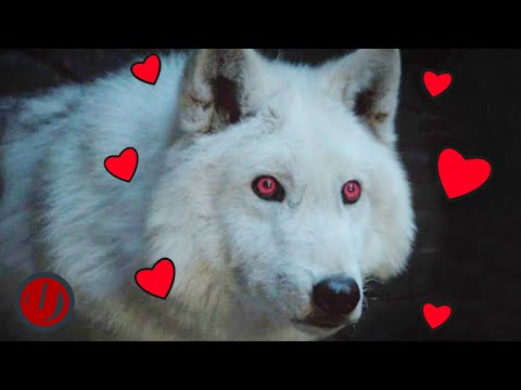 Game Of Thrones: Every Time Ghost Was A Very Good Boy