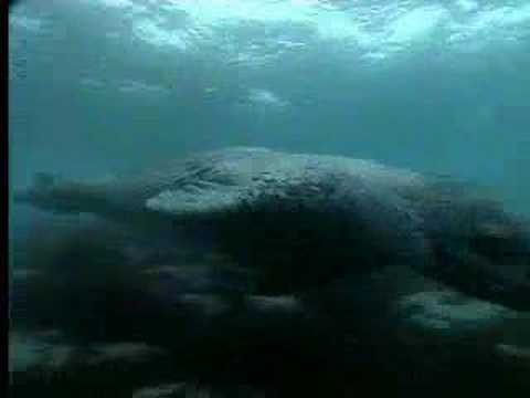 Ocean animals - leopard seals vs. penguins - David Attenborough - BBC wildlife