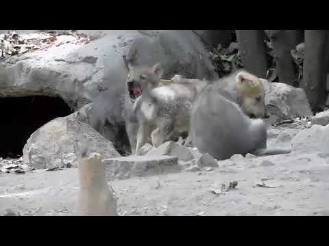 Desde hace algunos días, Seje y sus cachorros salen de su madriguera por periodos cortos de tiempo