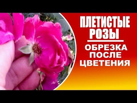 Как обрезать плетистые розы после цветения летом видео