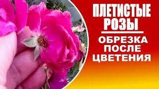 видео Фламентанц роза и особенности ее выращивания