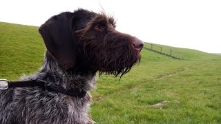 One and a half year old German wirehaired pointer