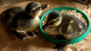 Duckling Disaster Hatch 3. The last ones out. Patitos eclosión 3. Canetons éclosion 3