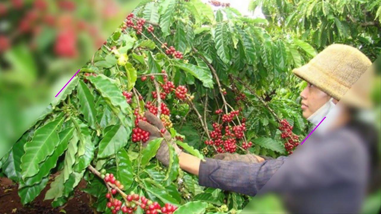 Cách chăm sóc trồng cà phê cho hiệu quả kinh tế cao