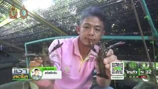 Repeat youtube video เชียงใหม่ หนุ่มเลี้ยงกุ้งก้ามแดง | 01-09-59 | เช้าข่าวชัดโซเชียล | ThairathTV
