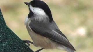 Black-Capped Chickadee - HD Mini-Documentary