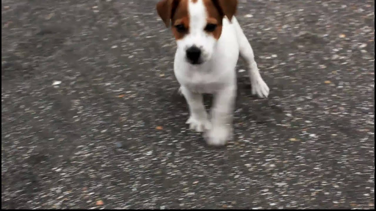 60 day jack russell terrier puppy youtube - Jack russel queue coupee ...
