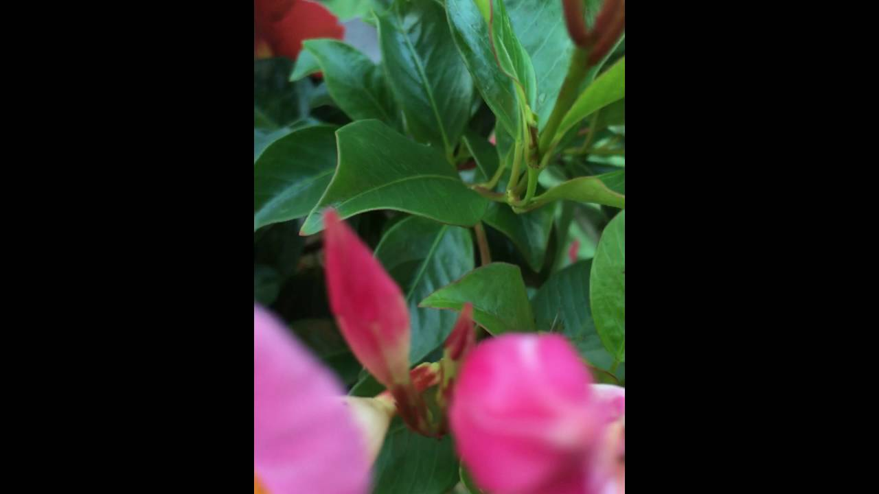 Pink Flowers With Yellow Centers Youtube