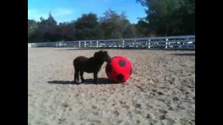 Mini Horse YaYa Plays with a Ball at Jasper Ridge Farm