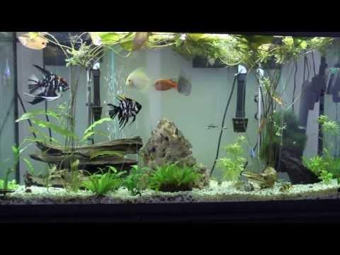 Discus, Angel, Denison Barbs, Clown Loach, Corey, Rainbow Fish In 60 Gallon Aquarium