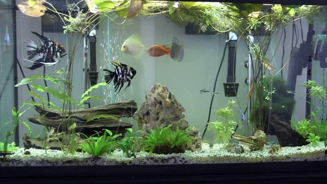 Freshwater aquarium fish loach - Discus Angel Denison Barbs Clown Loach Corey Rainbow Fish In 60 Gallon Aquarium