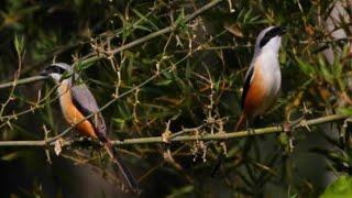 Mengintip Burung Cendet Di Alam Liar
