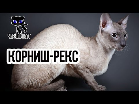 Корниш-рекс кудрявая кошка / Интересные факты о кошках