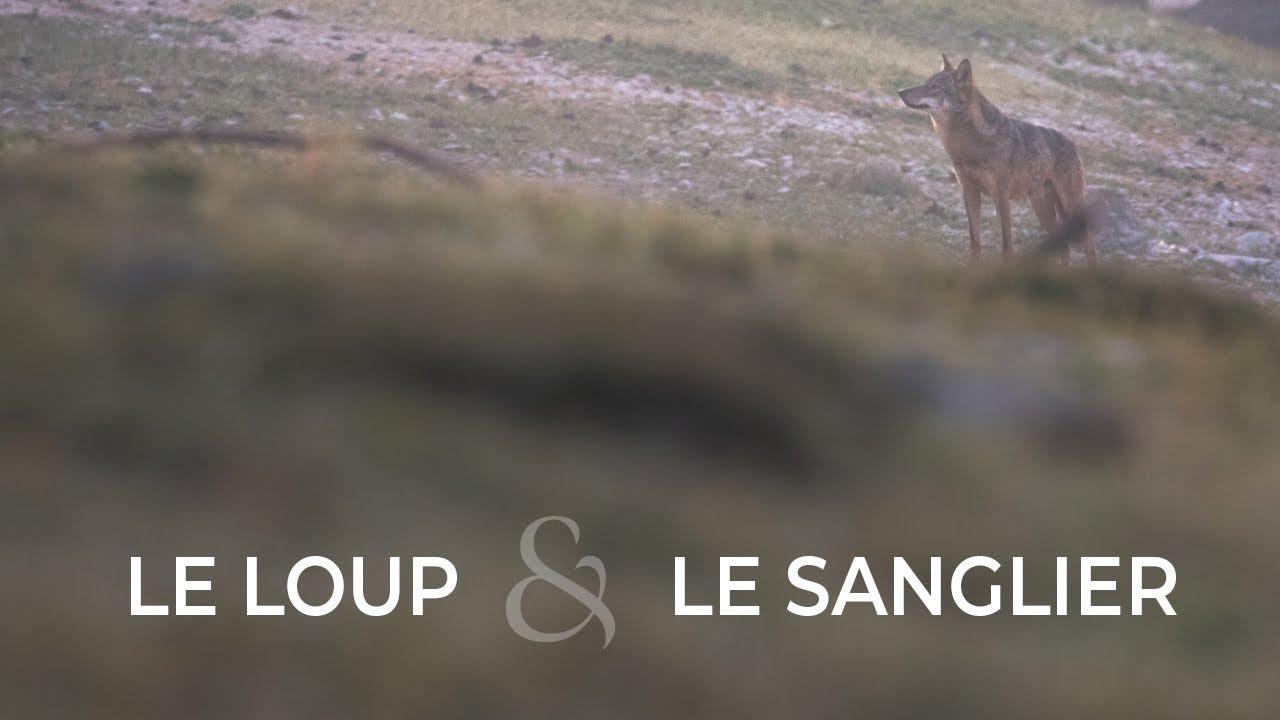 Vidéo - Le loup et le Sanglier
