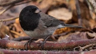 Dark Eyed Junco - Bird Docs