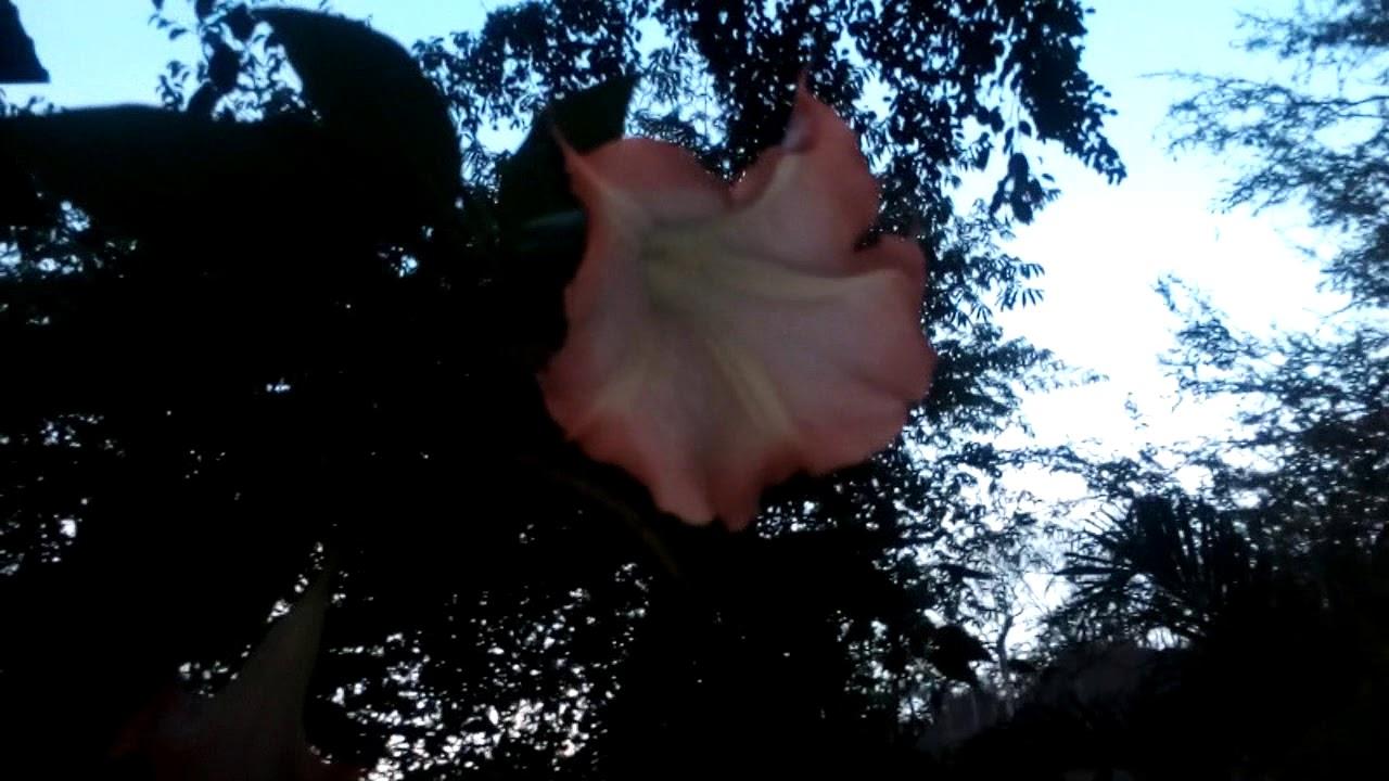 Hermosas Flores Trompeta De Angel Brumasia Youtube