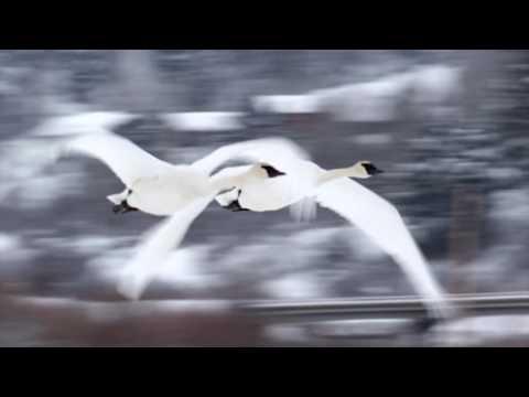 Wildlife Photography -  Trumpeter Swans - Grand Teton National Park / Jackson Hole / Yellowstone