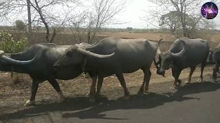 Kids Buffalo Video with Sound | BUFFALOS videos specially made for children | Cow And Buffalo