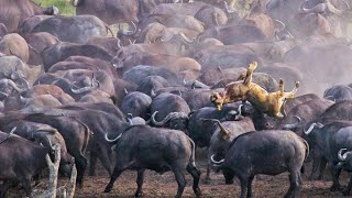 Stampeding Buffaloes Trample Lion