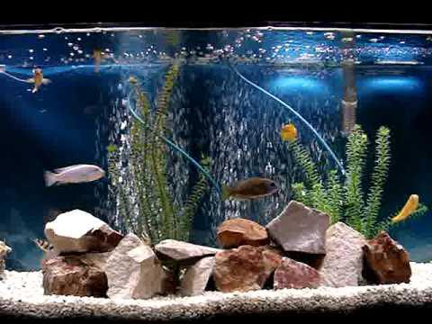 El acuario de peces ciclidos de boris youtube for Lista de peces tropicales para acuarios