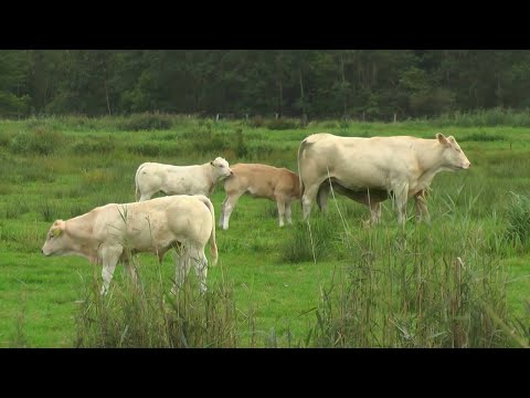 Download Cows and Calf //Cute Baby Cow Videos Compilation