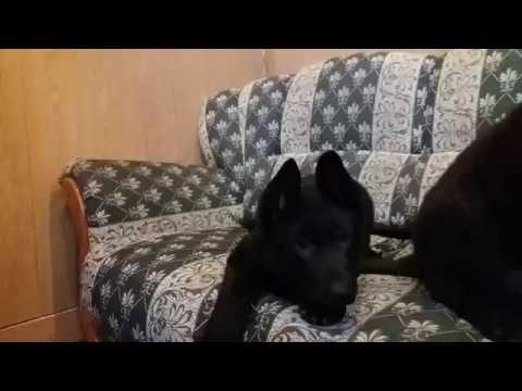 Продаются черные суки немецкой овчарки. Киев. Black german shepherd.