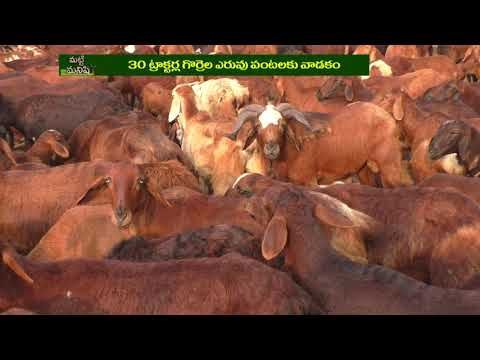 Commercial Sheep Farming In Integrated Agriculture | Matti Manishi | 10TV