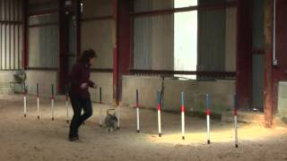 Miniature Schnauzer Agility Team Tunbridge Wells Agility Show.mpg