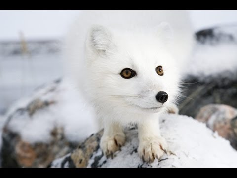 Arctic fox on frozen rocks at Seal River