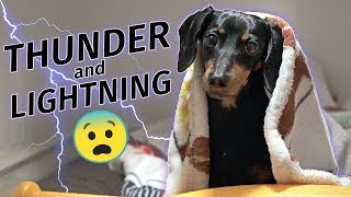 crusoe-dachshund-scared-of-thunderstorm-hides-in-closet