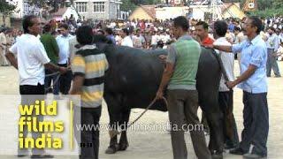 Crowd gather to witness bull fighting at Arki, Himachal Pradesh