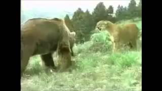 the movie of wildlife. 【最強動物バトル】クマvsライオンの勝敗は?(...