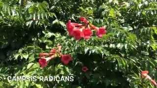 Campsis radicans. Garden Center online Costa Brava - Girona.(Campsis radicans. Garden Center online Costa Brava - Girona. Web: http://personalgardenshopper.es/, 2014-07-25T17:47:35.000Z)