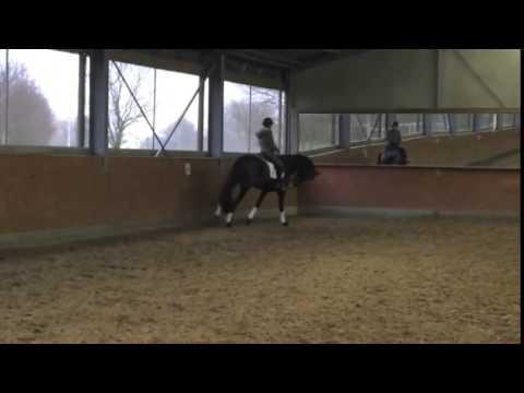 Dressage stallion, Black, 5 years old