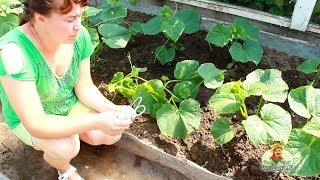 Как правильно подвязывать огурцы(Два способа правильно подвязать огурцы в теплице, не навредив растению и улучшив условия сбора нового урож..., 2013-09-15T14:59:13.000Z)