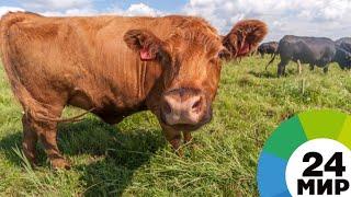 Малоимущим жителям Липецкой области помогают купить корову - МИР 24