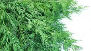 Как сохранить укроп свежим на зиму Заготовка зелени на зиму