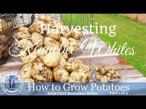 How to Grow Potatoes : Harvest Kennebec Whites Potatoes