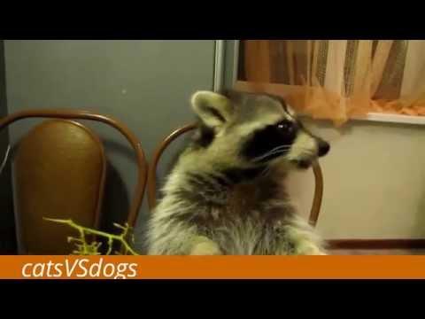 ПРИКОЛ С ЕНОТОМ/ПОСМОТРИ ДО КОНЦА:) - Видео Dailymotion