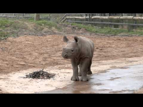 Baby Rhino Plays in Mud