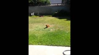 Cavalier King Charles Spaniel Turns Into A Snake