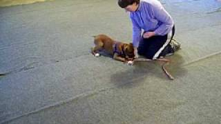 Maria. 15 Week Old Boxer Puppy, Training- Paws & People