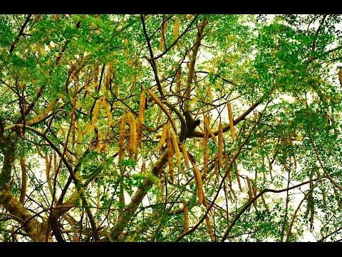 """Moringa Oleífera """"A árvore da vida"""" Conheça seus Benefícios!"""