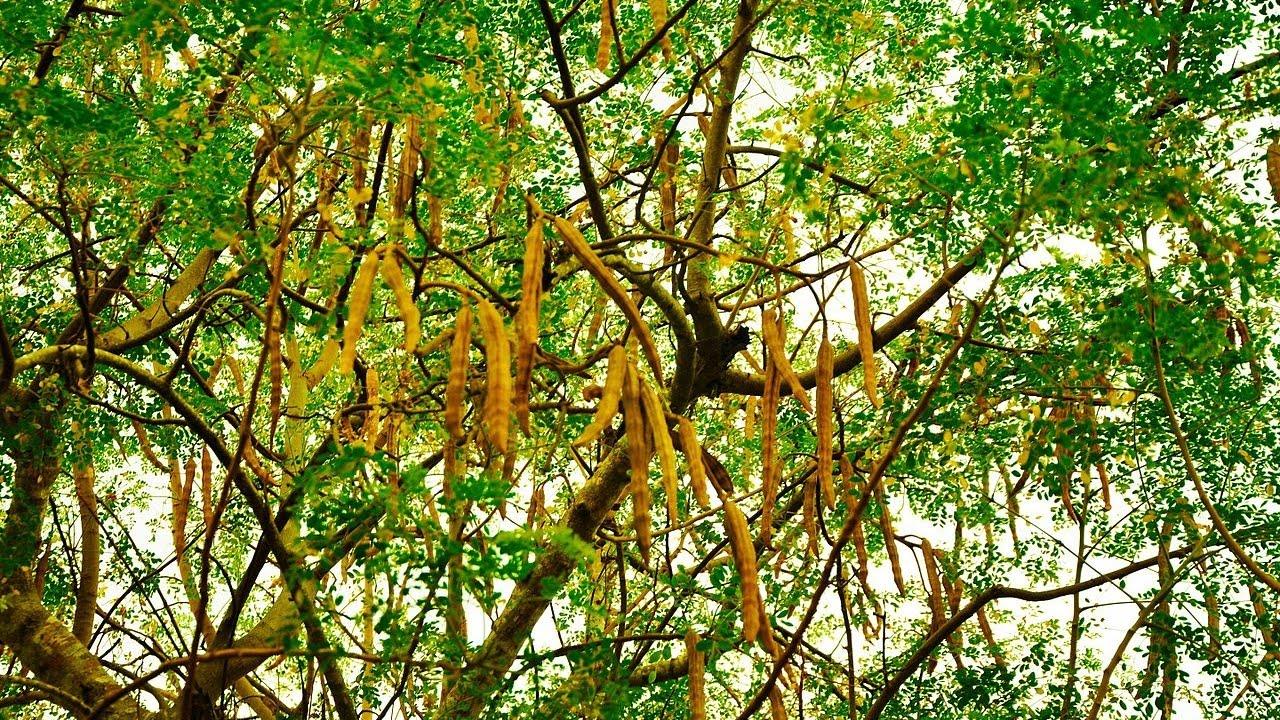 incr7 Benefícios da árvore milagrosa que pode curar 300 doenças, incluindo Diabetes