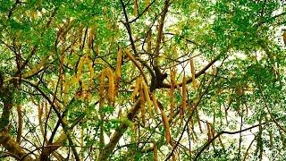 Moringa Oleífera – A árvore da vida – Conheça seus Benefícios