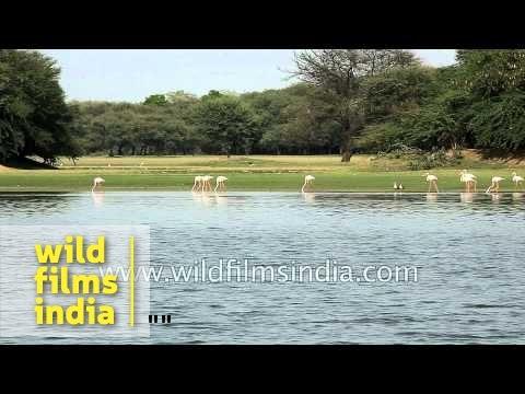 Sarus Cranes, Greater Flamingos and other bird species in wetland