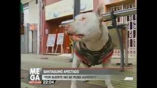 """Perro ladrón de paraguas en centro de Santiago. Meganoticias  """"Dog umbrella robber"""""""