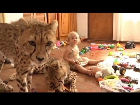 Toddlers Live With Cheetahs Video:...