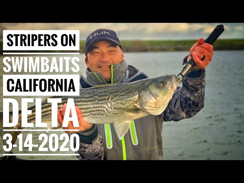 Striper Fishing On The California Delta With Swimbaits - Multiple 8.5 - 4.5lb Stripers 3-14-2020