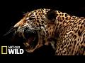 Un jaguar attaque un caïman - Animal Fight Club